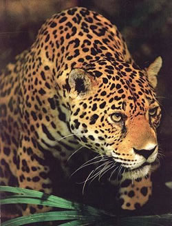 Earth-Centred Therapy jaguar